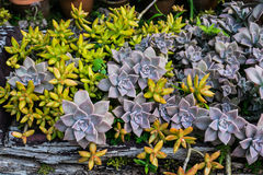 Succulents in a wooden planter box. Succulent drought resistant garden on wooden planter box Stock Photography