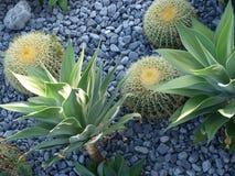 Succulents y cactus Imagen de archivo libre de regalías