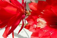 Succulentsrotblumen Lizenzfreie Stockfotos