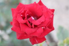 Beautiful Crimean rose with a spider royalty free stock photos