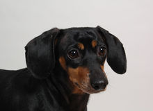 Such a sad face. Portrait of a dachshund looking forlornly at the photographer. Horizontal orientation. Focus on face royalty free stock image