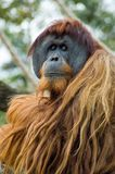 Such Sadness. An Orangutang stock photography