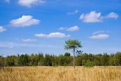 Sucha łąka przed sosnowym lasem Obraz Stock