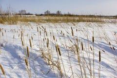 Sucha żółta płocha w białym śniegu przeciw tłu zima las obrazy stock