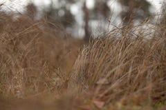 Sucha brown trawa w jesień lasu zbliżeniu Obrazy Stock