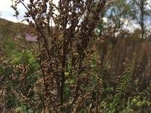 Sucha bylica, zakończenie Natura, wieś krajobraz Obrazy Stock