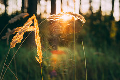 Sucha Czerwona trawy pola łąka Stonowana, Natychmiastowa fotografia, Obraz Royalty Free