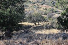 Sucha droga gruntowa z Akacjowymi drzewami Obraz Stock