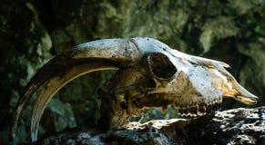 Sucha koźlia czaszka z dużymi rogami na kamieniu, fotografia royalty free