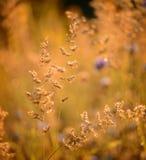 Sucha kolorowa lato trawa obrazy stock