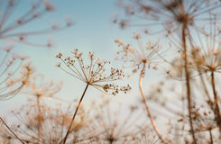 Sucha koperkowa roślina Fotografia Stock