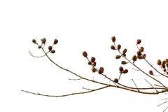 Sucha owoc Lagerstroemia floribunda Jack na białym tle Obraz Stock