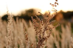 Sucha roślina przy sunset_front ostrością obrazy stock