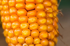 Sucha słodka kukurudza Zdjęcia Royalty Free
