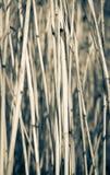 sucha tło trzcina Fotografia Royalty Free