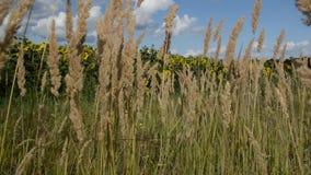 Sucha trawa kiwa w wiatrze pod niebieskim niebem zbiory