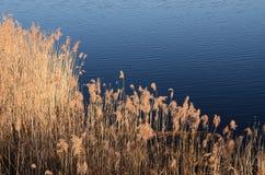 Sucha trawa na jeziorze Obrazy Stock
