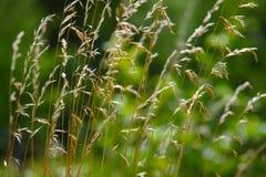 Sucha trawa na zielonym tle Obraz Stock