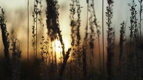 Sucha trawa przeciw słońcu przy zmierzchem zbiory wideo