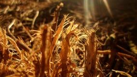 Sucha trawa przy złotą godziną zdjęcie stock