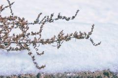 Sucha trawa w śniegu obrazy stock