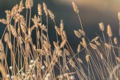 Sucha trawa z pięknie zamazanym dennym tłem fotografia stock