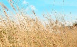 Sucha trawa z uroczym niebieskim niebem rozmyty Zdjęcie Stock
