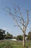 suche drzewo Zdjęcie Stock