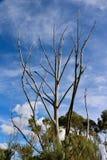 suche drzewo Obrazy Royalty Free