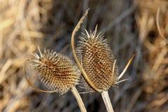 Suche fruiting głowy Dzikiego teasel lub folarza ` s teasel w Fremont Kalifornia, Dipsacus fullonum, składać się z kręgosłup prze Zdjęcia Stock