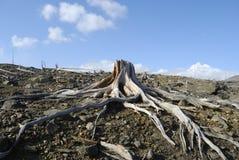 suche korzenia Zdjęcie Royalty Free