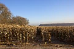 Suche kukurydz rośliny w zimie Obraz Stock