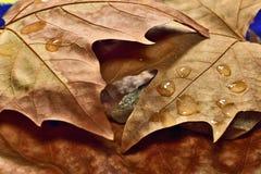 suche liście jesienią Obrazy Stock