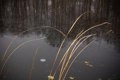 Suche nabrzeżne płochy przeciw tłu jezioro zakrywający z cienkim jasnym lodem Obrazy Royalty Free