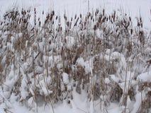 Suche płochy w śniegu Obraz Royalty Free