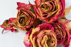 suche róże Obrazy Stock