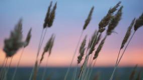 Suche ro?liny kucaj? w polu w wiatrze podczas zmierzchu overcast niebo zdjęcie wideo