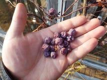 suche winogron obrazy royalty free