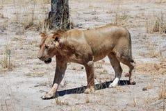 suchej lwicy sawannowy Tanzania odprowadzenie Fotografia Stock