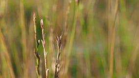 Suchej trawy chodzenie i rozmyty tło zbiory