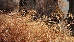 suchej trawy kolor żółty zdjęcie wideo