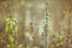 Suchej trawy pola paśnik w zmierzchu świetle słonecznym, filtrującym Obraz Stock