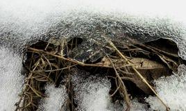 Suchej trawy przerwy przez śniegu obrazy stock