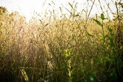 Suchej trawy tło z światłem pogodny popołudnie Zdjęcie Royalty Free