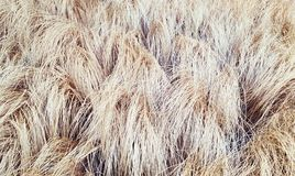 Suchej trawy tło Zdjęcie Royalty Free