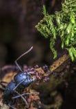 Suchen nach Ameisen im Lebensmittel Stockbild