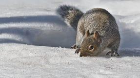 Suchen nuts Herrn Squirrel lizenzfreie stockfotos