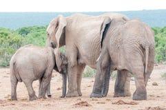 Suchende Neigung des Elefantenkalbs von seiner Mutter Stockbilder