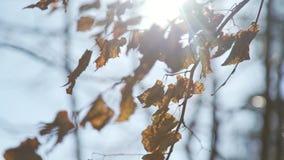 Suchy żółty ulistnienie na brzozy gałąź jesień błękit długa natura ocienia niebo zdjęcie wideo