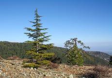 Suchy ananasowy drzewo, letni dzień w górach Obrazy Royalty Free
